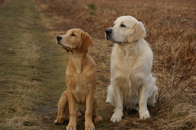 golden retriever, dogs, pets, trained