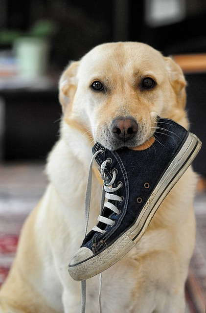 dog, labrador, animal, shoe