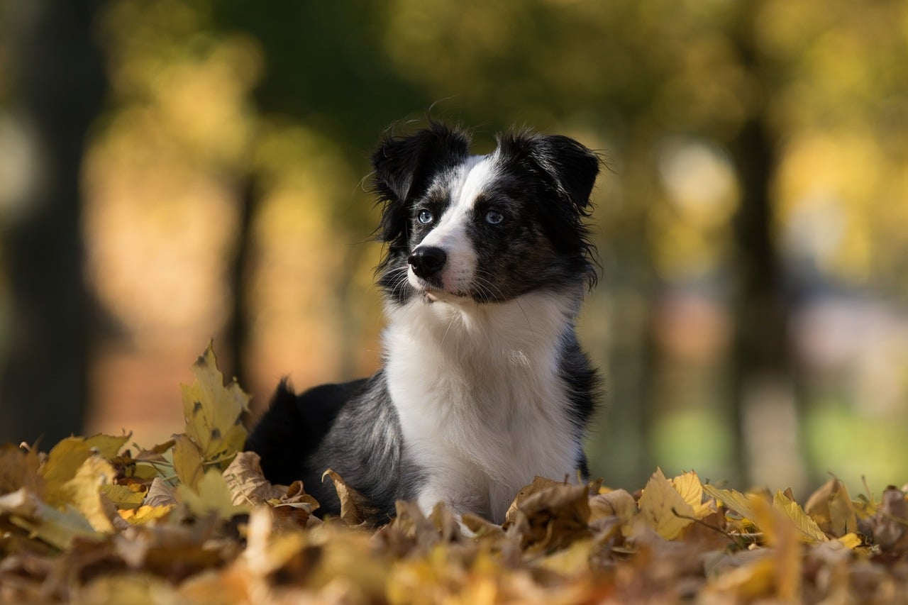 australian shepherd mini, dog, leaves